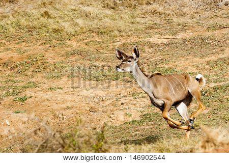Run Kudu Run - Tragelaphus Strepsiceros