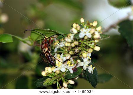 Beetle Feeding On Pollen