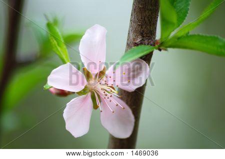 Peach Blossum