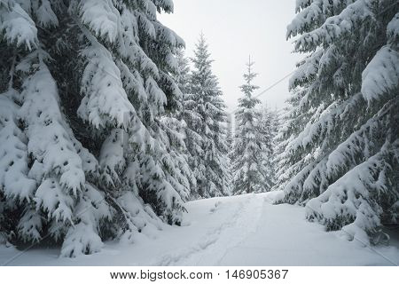 Winter landscape with footpath in the snow. Spruce forest in the mountains. Overcast weather. Carpathians, Ukraine, Europe
