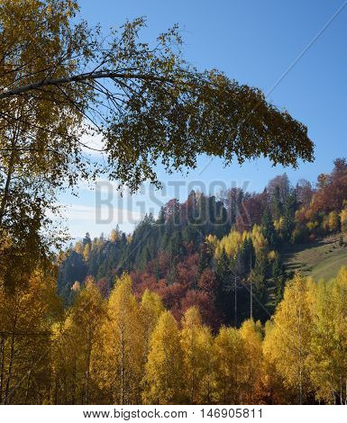 Autumn landscape with deciduous forest. The curved birch. Sunny weather in the mountains. Carpathians, Ukraine, Europe