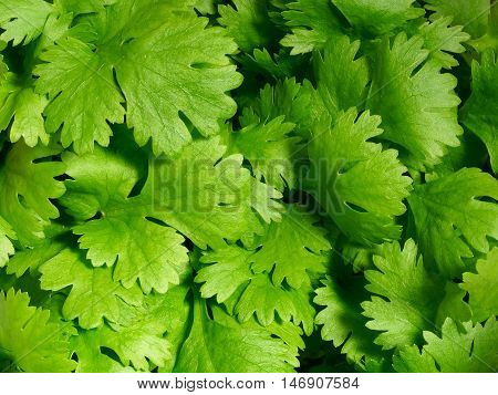Fresh coriander herb as used in cooking