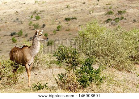 Kudu Lady Looking For Love - Tragelaphus Strepsiceros
