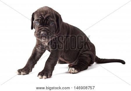 Beautiful young black puppy italian mastiff cane corso (1 month) on white background