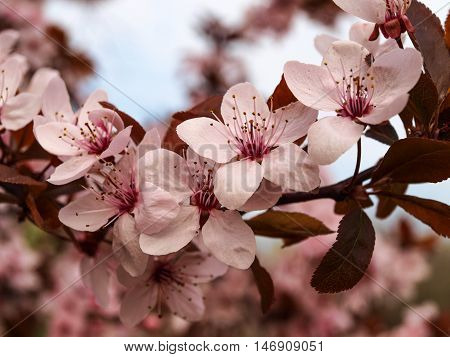 Abundantly blooming apple branch in country garden