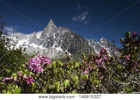 alpine rose in the chamonix vallee on a sunny day
