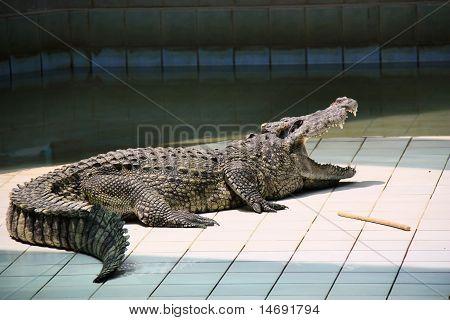 Crocodile Open Mouth