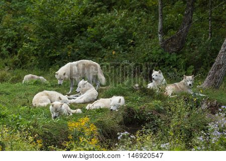 A pack of Arctic Wolves resting in a field