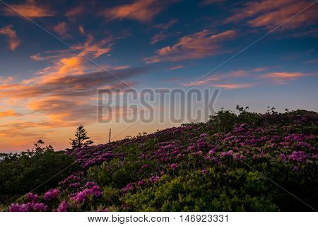 Clouds Lit By Daybreak Over A Rhododendron Bloom