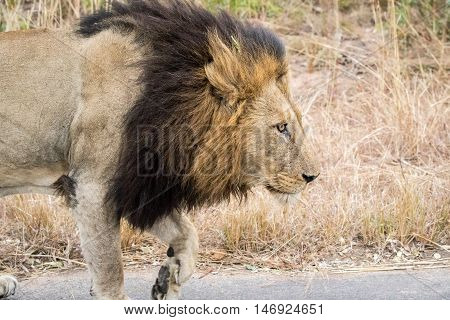 Side Profile Of A Male Lion.