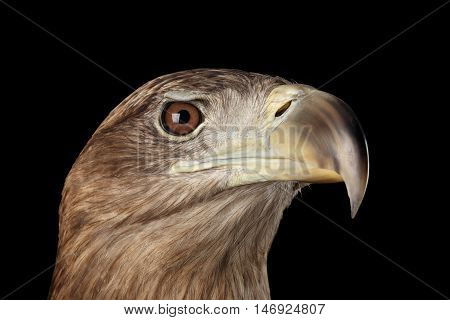 Close-up Head of White-tailed eagle, hunting looks, Birds of prey, isolated on Black background