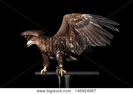 White-tailed eagle Sitting on perch and Spread wings, Looking at left Birds of prey isolated on Black background