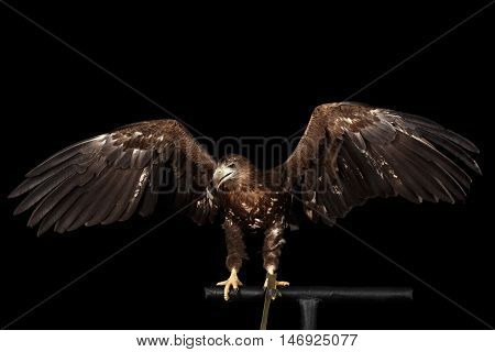 White-tailed eagle Sitting on perch and Spread wings, Birds of prey isolated on Black background