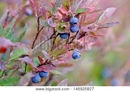 Ripe wild blueberries in bushes. Cascade Mountains. Mount Baker National Forest. Seattle. Washington. USA