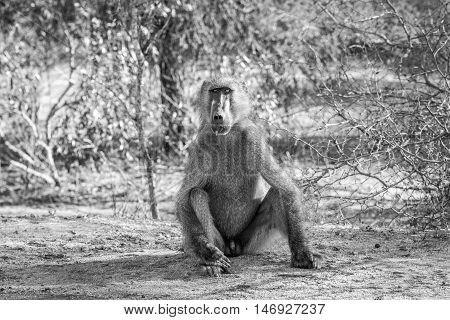 Baboon Starring At The Camera In Black And White.
