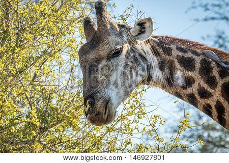 Giraffe Eating Leaves.