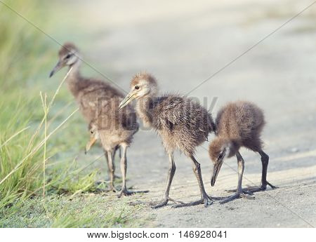 Limpkin Chicks Crossing a Trail  in Florida Wetlands