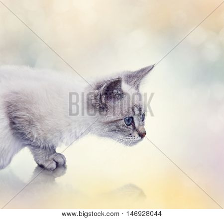 Portrait of White Kitten with reflection