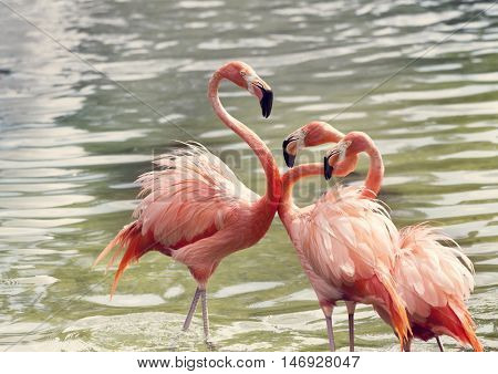 Pink Flamingos in the water at sunset