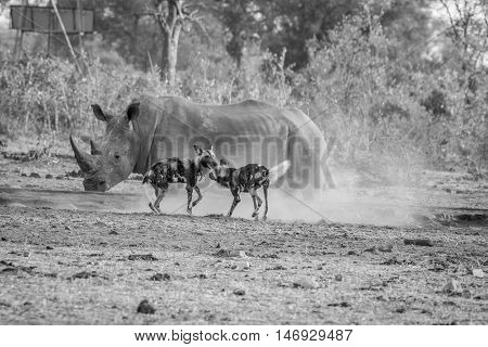 Two African Wild Dogs With A White Rhino In Black And White.
