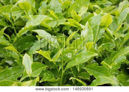 organic tea leaf in plantation at Cameron Highlands