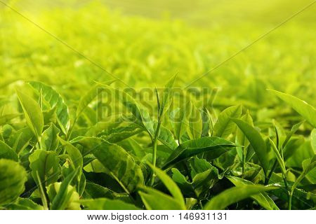 Tea leaf in farmland with beautiful light