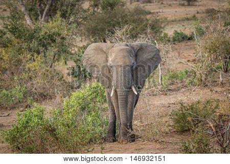A Big Elephant Bull Starring At The Camera.