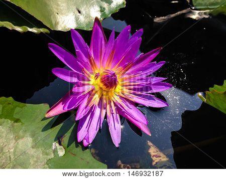 violet waterlily or lotus flower blooming on pond