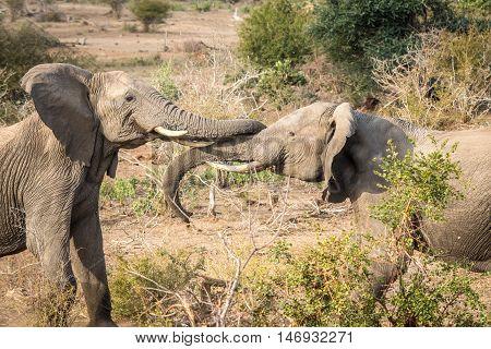 Two Bonding Elephants In Kruger.