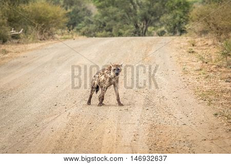 Spotted Hyena On The Road.