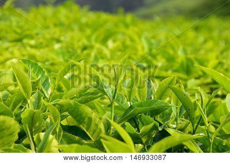 Tea leaf in farmland, a large tea plantation in malaysia