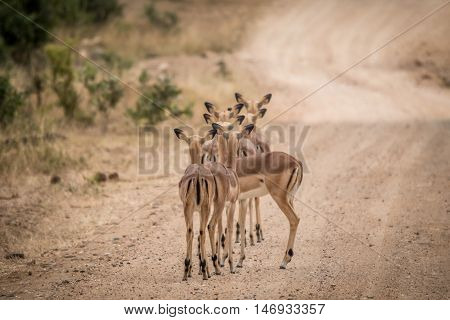Group Of Female Impalas From Behind.