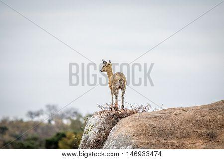 Female Klipspringer On The Lookout.