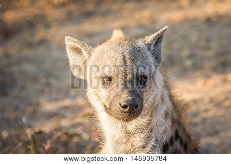 Spotted Hyena Female Starring At The Camera.