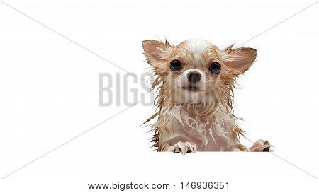 Small cute brown wet chihuahua dog with think bubble on pink background.