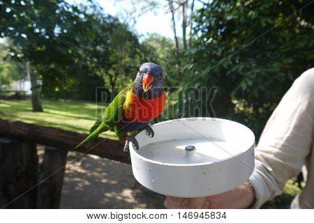 Scarlet-Chested Parrot (Neophema splendida) feeding in Australia
