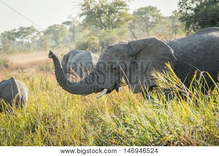 Drinking African Elephants.