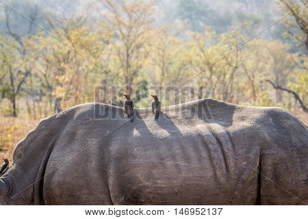 Two Red-billed Oxpeckers On A Rhino.