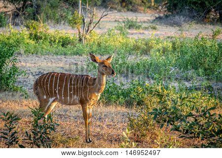 Female Nyala Starring In Kruger.