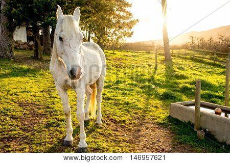 White Arabian Horse In Early Morning Sun.