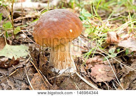 Mushroom of Cep in a natural habitat
