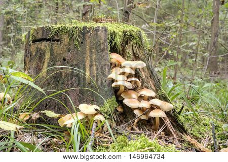 Toadstools on a stump in a natural habitat