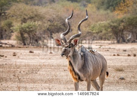 Big Kudu Male Walking In The Bush With Oxpeckers.