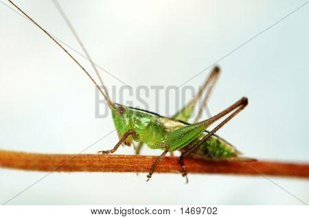 Grasshopper On Stalk Over White Background