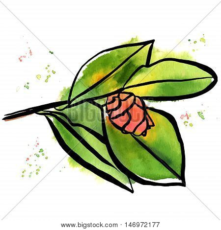 A freehand vector and watercolor drawing of a tender pink camellia bud, with green leaves, on white background