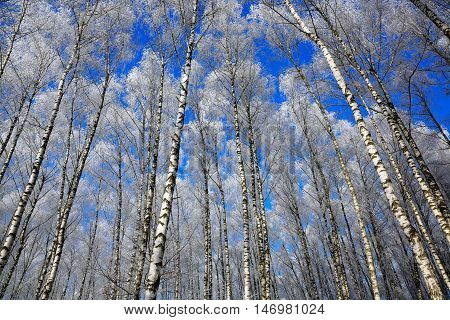 Birch trees in rime on a clear winter day. view with bottom on the high thin white trunks of birch trees