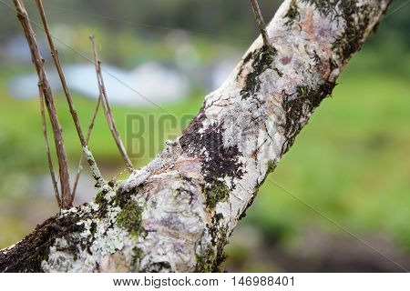 Two mantis camouflaged on tree brown branches.