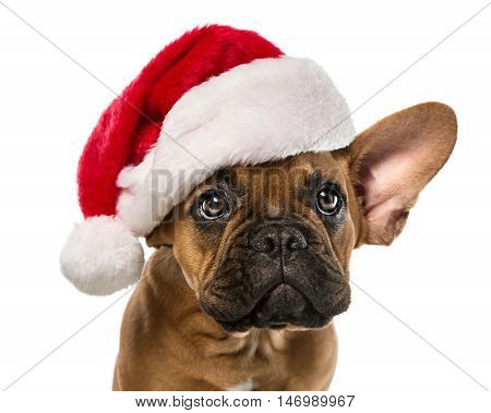 Close up of cute little french bulldog with santa claus hat isolated on white background