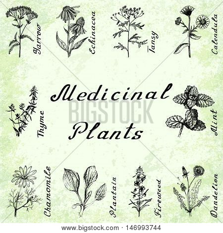 Vector set of 10 drawings of plants - yarrow echinacea tansy calendula thyme mint chamomile plantain fireweeed dandelion Hand drawing pencil Green grunge background