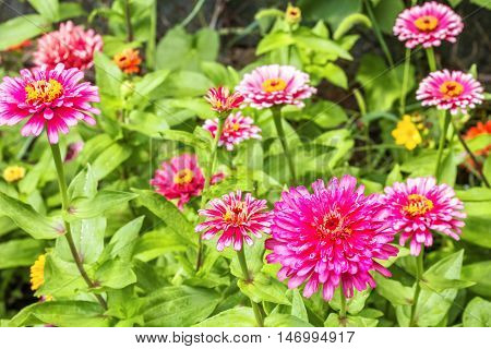 Blooming pink zinnias in the flowerbed in the garden on a sunny summer day. Selective focus